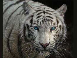 wallpapers: White Tiger Images,Wallpapers 1329