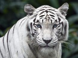 1600x1200 White tiger desktop PC and Mac wallpaper 563