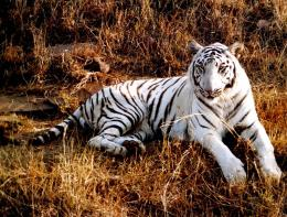 Unique Picture Around the World: White Tiger Wallpapers 1160