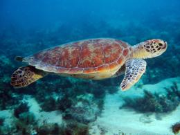 HD Wallpapers Desktop: Turtle Swimming HD Wallpapers 1031