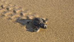 Baby turtle on the beach desktop wallpapers 1280x960, Baby turtle 1295