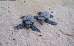 Blue Turtles On The Beach Beaches Animals hd wallpaper #1258237 1264