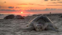 Turtle beach sunset wallpaper, Beach Pictures and images 1062