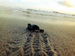 Baby Turtles On The Beach Wallpaper Releasing baby turtles in 1367