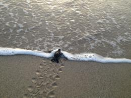 Kantary Beach Baby Sea Turtles Pictures to pin on Pinterest 1179
