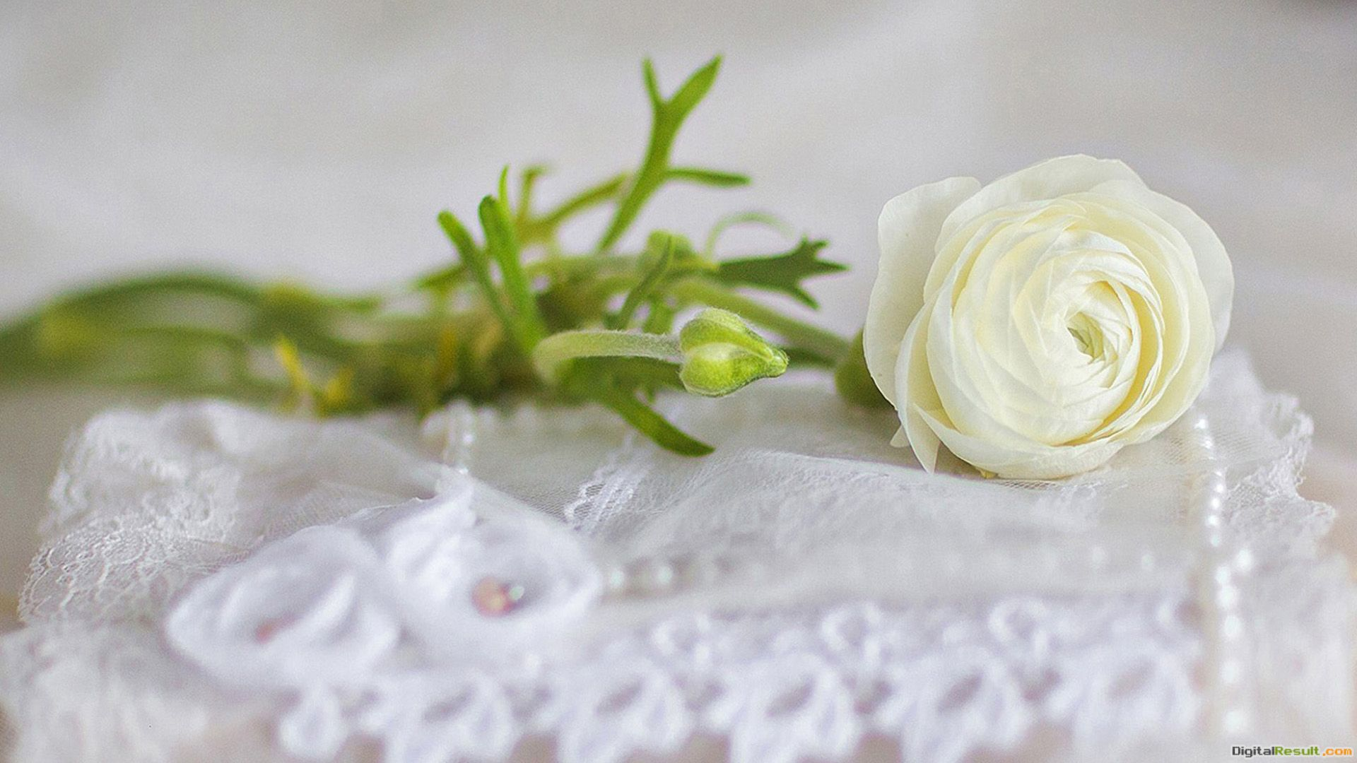 White roses and wedding Wallpapers, Rose Flower images, Rose Pictures 336