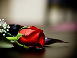 90 Wedding Red Rose Flower Wallpapers Love Roses Pictures ~ Urdu 117