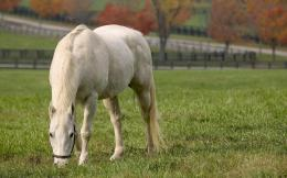 Wallpaper summer, white horse, white horse eating grass wallpapers 1340