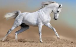 White horse runs wallpapers and imageswallpapers, pictures, photos 1427