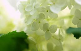 White hydrangea Wallpapers Pictures Photos Images 1841