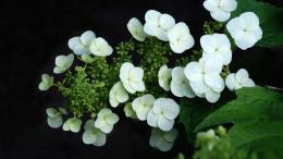 Download White Hydrangea wallpaper in Flowersplants wallpapers with 452