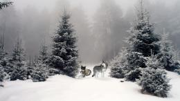 Wolves in Winter Woods wallpaperForWallpaper com 991