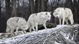Hungry wolves in winter 1080 jpg 1131