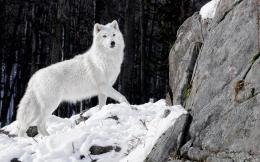 wolf in the winter with snow and a big rock | HD wolves wallpapers 1048