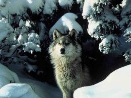 Wolf in the WinterWolves Wallpaper5850177Fanpop 306
