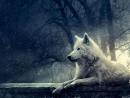 Tag: Wolf in Winter Wallpapers, Backgrounds, Photos, Imagesand 1568