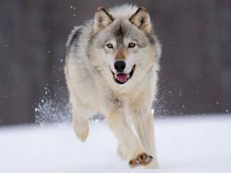 keywords wolf in winter wallpapers wolf in winter desktop wallpapers 1427
