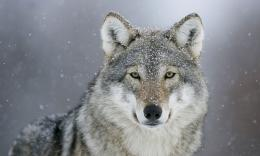 Wolf predator eyes snow winter animals wolves snowing wallpaper 1999