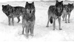 Wolves Winter 278