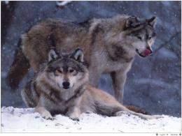 Wild wolves winter wallpaper 796