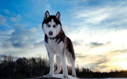 HD animal wallpaper of a beautiful wolf in the winter | Wolf wallpaper 954