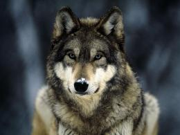 : Wolf in Winter Wallpapers, Wolf in Winter DesktopWallpapers, Wolf 1634