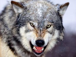 : Wolf in Winter Wallpapers, Wolf in Winter DesktopWallpapers, Wolf 775