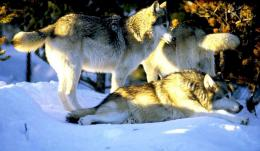 Wolves in Winter 60