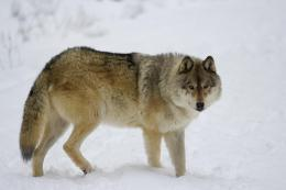 Wolf in winter snow wolves wilderness wallpaper 676