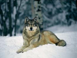 Tag: Wolf in Winter Wallpapers, Backgrounds, Photos, Imagesand 1021